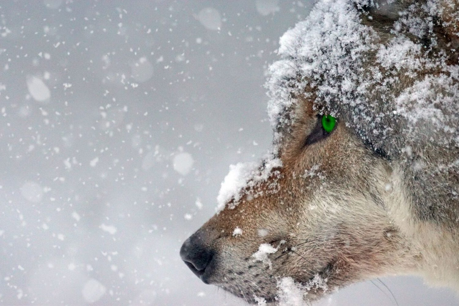 22 Wolf Quotes For The Inner Alpha In You